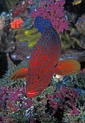 coraltroutpapua_e_